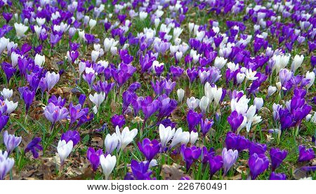 White And Purple Crocus Flowers Revealed In Early Spring.