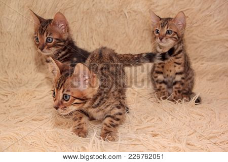Three Cute Bengal Kittens Are Playing On A Soft Coverlet. One Month Old. Pet Animals.