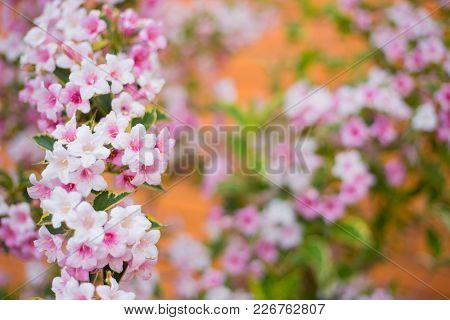 Close-up Pink Weigela Flowers On Bush On Sunny Day On Blurred Background In Spring