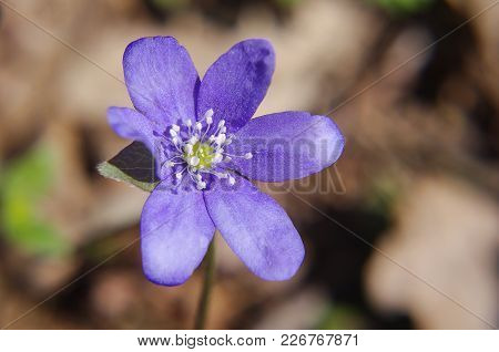 Violet Bloom At Early Spring In The Forest