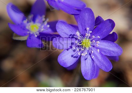 Blooms Of Violets At Early Spring In The Forest