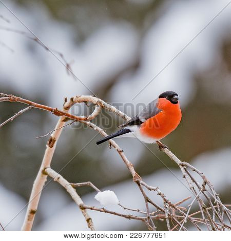 Bullfinch On The Birch Tree Branch At Winter Day Time
