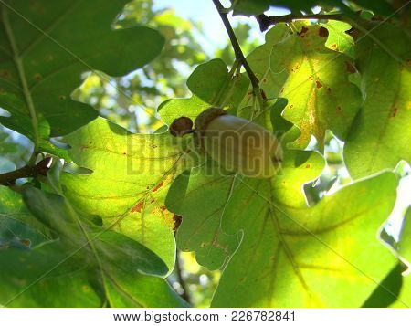 Spring Leaves Of Oak Tree On Green Natural Background.