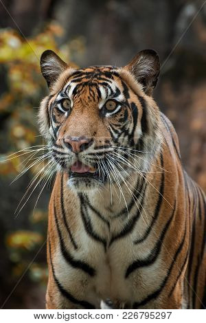 The Sumatran Tiger Is A Tiger Population That Lives In The Indonesian Island Of Sumatra