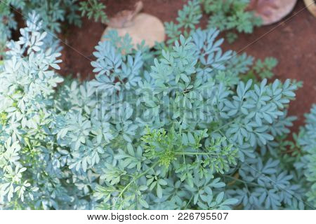 Ruta Graveolens, Commonly Known As Rue, Common Rue Or Herb-of-grace, Is A Species Of Ruta Grown As A