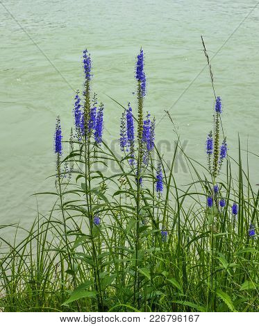 Blue Wild Flowers Of Veronica Spicata (spiked Speedwell; Pseudolysimachion Spicatum) On The Bank Of