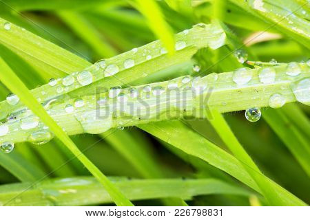 Drops Of Water Over Grass Blades, Horizontal Image