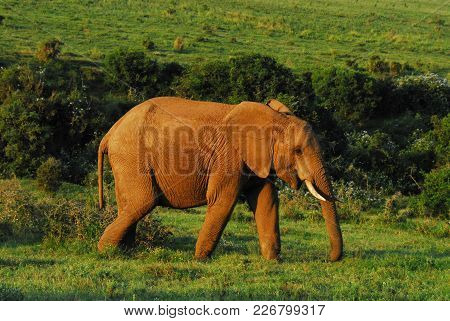 A Majestic Endangered Elephant In The South African Wilderness.  Note The Red Mud Caked On The Skin.