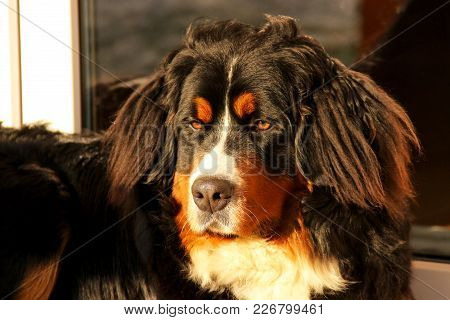 Bernese Mountain Dog Puppy Guard Porch Beautiful