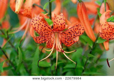 Tiger Lily, Lat. Lilium Lancifolium