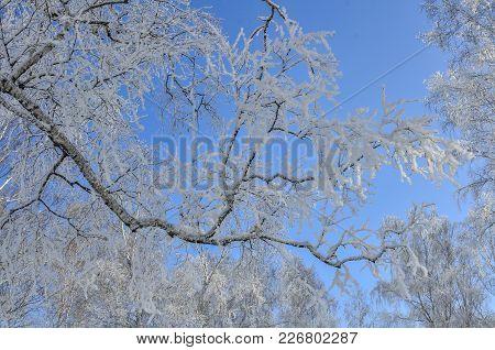Birch Tree Branch With Hoarfrost On Blue Winter Sky. Frozen Branch On Blue Sky Background. Winter La