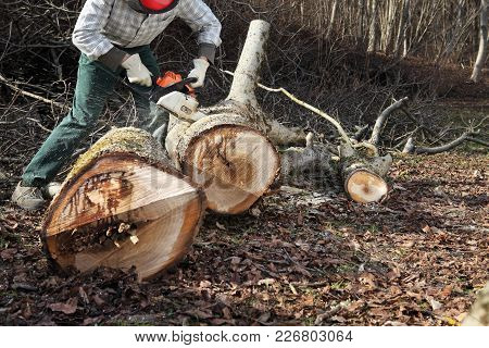 Lumberjack Using Chainsaw Cutting Big Tree During The Autumn Wearing Hardhat And Headphones