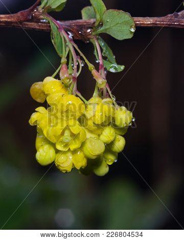 Yellow Flowers Cluster On Blooming Common Or European Barberry, Berberis Vulgaris, Macro With Raindr