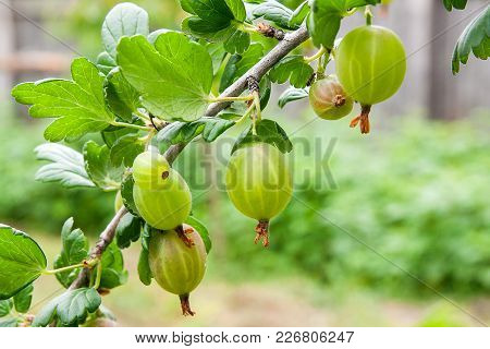 Branch Of Gooseberry With Green Berries And Leaves In The Garden..