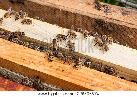 Close Up View Of The Bees Swarming On A Honeycomb..
