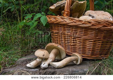 Harvested At Autumn Amazing Edible Mushrooms Boletus Edulis (king Bolete) Known As Porcini Mushrooms