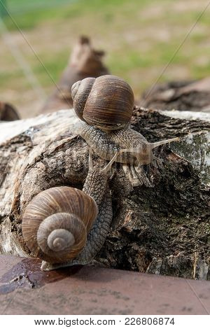 Two Big Burgundy Snails (helix, Roman Snail, Edible Snail, Escargot) Crawling On The Trunk Of Old Bi