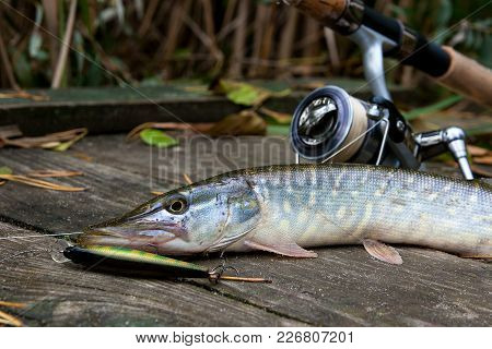 Freshwater Pike With Fishing Bait In Mouth And Fishing Equipment Lies On Wooden Background..