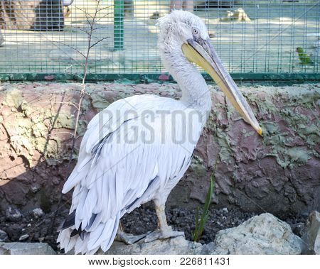 White Pelican At The Zoo. Waterfowl With Large Beak.