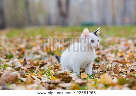 White And Black Small Kitten On Autumn Glade Among Fallen Leaves