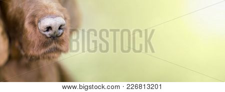 Nose Of A Cute Irish Setter Dog - Web Banner With Blank, Copy Space