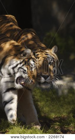 Caressed By A Tigress