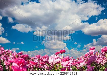 Cloudy and windy day in May. Adorable pink garden buttercups - ranunculus bloom on a farm field. Cumulus clouds fly in the blue sky. Concept of ecological tourism