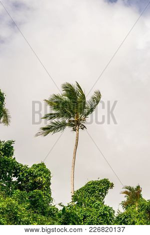 Royal Palm Is Standing Along Surraunded With The Tropical Forest On The Cloudy Background. Cloudy An