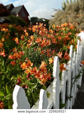 Flowers Run Along A White Picket Fence