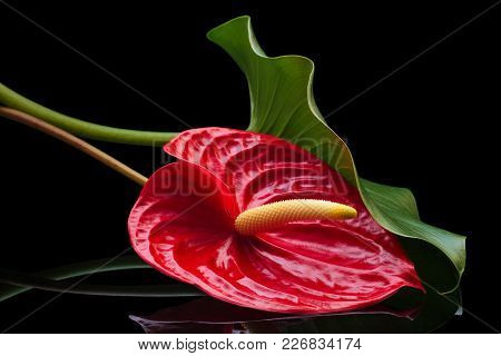 Closeup Shot Of Red Anthurium On Black Reflective Background.