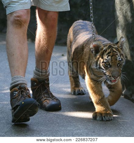 A Baby Tiger Going For A Walk With His Handler On A Chain