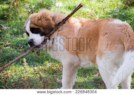 Dog St. Bernard Plays With A Stick On The Street On The Green Grass