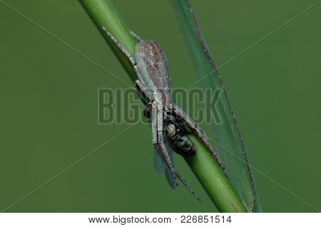 A Small Species Of Grey Crab Spider Consuming A Fly With A Deep Green Background.