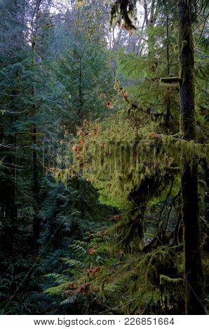 Moss Hangs From The Branches Of A Hemlock Tree In The Forest Of Gowlland Tod Provincial Park, Britis