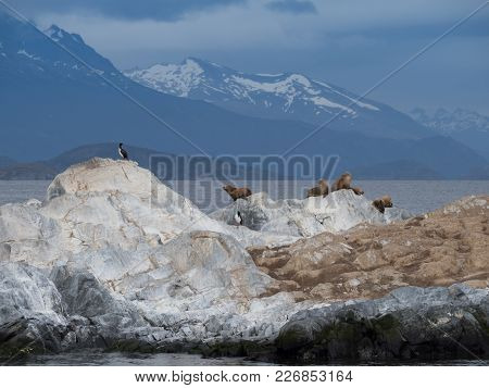 Blue Eyed Cormorants Or Shags And Seals On A Rocky Island In The Beagle Channel, Argentina.
