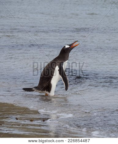 A Gentoo Penguin Wading With The Water. His Beak Is Open And Water Drips From His Feathers.