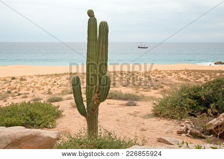 Cactus On Divorce Beach At Lands End In Cabo San Lucas In Baja California Mexico Bcs