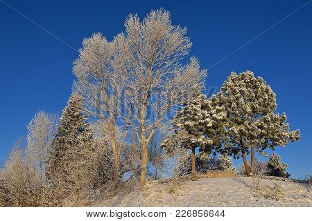 Trees Are Covered With Snow And A Hoar Frost On A Wintry Cold Morning With A Background Of A Clear B