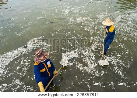 Garbage Collector, Environment Worker Take Mass Dead Fishes Out From West Lake, Hanoi, Vietnam In Oc