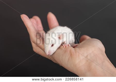 White Baby Rat In The Palm Of A Human Closeup