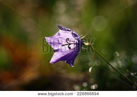Single Violet Flower Of A Campanula On A Difficult Dark Background.