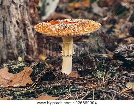 Close Up Of Fly Agaric Or Fly Amanita (amanita Muscaria), A Mushroom With Red Cap, White Spots, Whit
