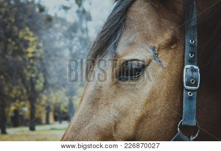 The Close Up Of Brown Horse Eye