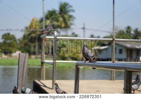 Closeup Of Beautiful Speed Racing Pigeon Bird