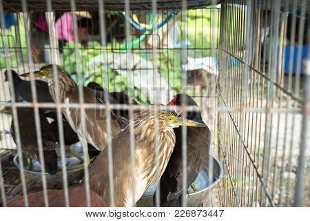 Nature Night Herons - Wild Birds Are Caught And Sell To Be Food In Mekong Delta, South Vietnam