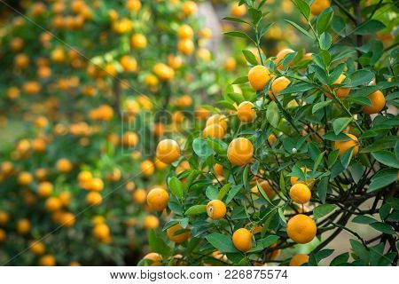 Kumquat Tree. Together With Peach Blossom Tree, Kumquat Is One Of 2 Must Have Trees In Vietnamese Lu