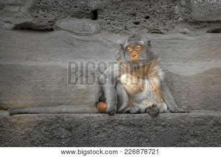 Long Tailed Monkey Sitting On Edge Of A Stone Wall Closes Her Eyes As If She Is Meditating.