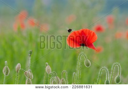 Poppy And Bumblebee - Wild Life On A Colorful Meadow