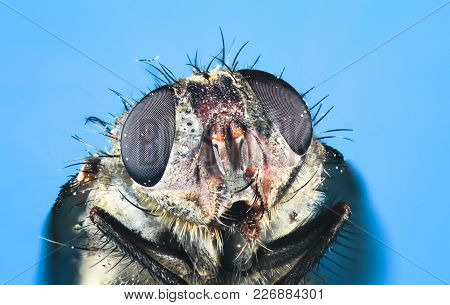 A Common Housefly (musca Domestica) Up Close.