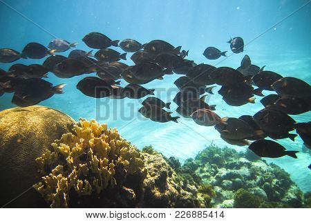 A School Of Doctorfish (acanthurus Chirurgus) Swim Along The Coral Reef In The Carribean, Little Cor